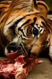 Tigre com fome Imagens de Stock