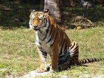 Tigre com fome Fotos de Stock Royalty Free