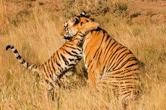 Tigre com seu filhote fotografia de stock