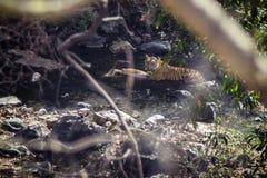 Tigre com sua rapina imagens de stock