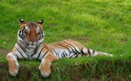 Tigre con gli occhi chiusi fotografie stock
