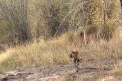Tigre con l'habitat Fotografia Stock