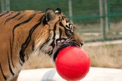 Tigre con la sfera nella sua bocca Fotografia Stock Libera da Diritti