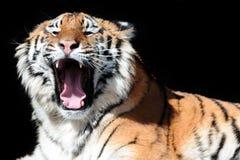 Tigre con le zanne scoperte sui precedenti neri Fotografie Stock