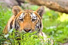 Tigre con mirada intensa Foto de archivo libre de regalías