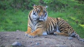 Tigre contento en una roca almacen de metraje de vídeo
