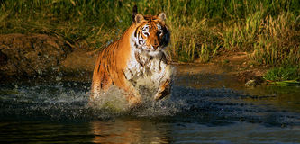 Tigre corrente Fotografie Stock Libere da Diritti