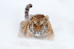 Tigre corrente con il fronte nevoso Tigre in natura selvaggia di inverno Funzionamento della tigre dell'Amur nella neve Scena del immagine stock