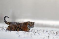 Tigre corriente con la cara nevosa Tigre en naturaleza salvaje del invierno Tigre de Amur que corre en la nieve Escena de la faun Foto de archivo
