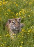 Tigre Cub fotografia stock