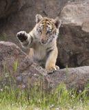 Tigre Cub fotografie stock libere da diritti