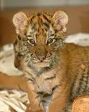 Tigre Cub imagem de stock
