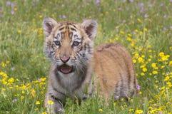 Tigre Cub Imagens de Stock Royalty Free