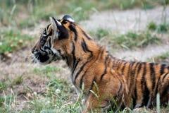 Tigre Cub Fotografía de archivo