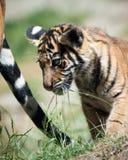 Tigre Cub Imágenes de archivo libres de regalías