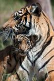 Tigre Cub fotografia de stock royalty free