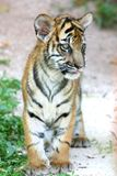 Tigre Cub Imagens de Stock