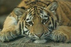 Tigre Cub Images libres de droits