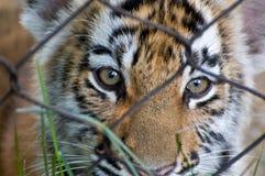 Tigre Cub Image libre de droits
