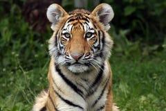 Tigre Cub imponente Imagen de archivo libre de regalías