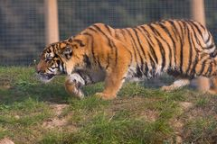 Tigre Cub Prowling Immagini Stock