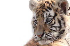 Tigre Cub siberiana Immagini Stock Libere da Diritti