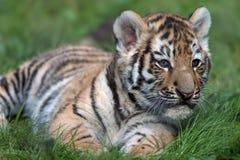 Tigre Cub siberiana (altaica del tigris del Panthera) Fotografie Stock Libere da Diritti