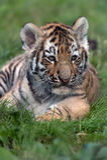 Tigre Cub siberiano (altaica de tigris del Panthera) Foto de archivo