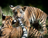 Tigre Cubs Photographie stock