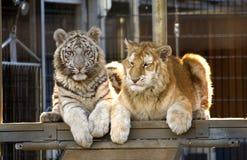 Tigre Cubs rara di Bengala Immagini Stock