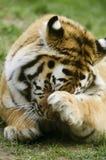 Tigre d'Amur Image stock