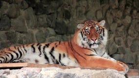 Tigre d'Amur banque de vidéos