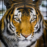 Tigre d'Amur Photos stock