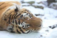 Tigre d'Amur Images stock