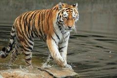 Tigre d'Amur dans l'eau Photos libres de droits
