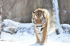 Tigre d'Amur dans la neige 4 Images stock