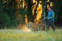 Tigre d'Amur dans le soin humain sur une laisse avec l'éleveur Image stock