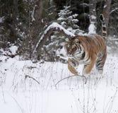 Tigre d'Amur fonctionnant dans la neige Photos libres de droits