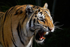 Tigre d'hurlement Image stock