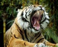 tigre d'hurlement Photo libre de droits