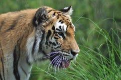 Tigre d'inseguimento Fotografia Stock