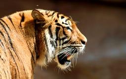 Tigre d'inseguimento Fotografie Stock Libere da Diritti