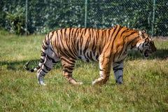 Tigre d'isolement marchant sur l'herbe images stock