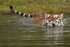 Tigre da natação Imagens de Stock Royalty Free