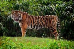 Tigre da pulseira Foto de Stock