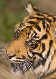 Tigre da rosnadura Fotos de Stock Royalty Free