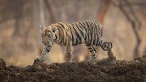 Tigre dans l'étang image stock