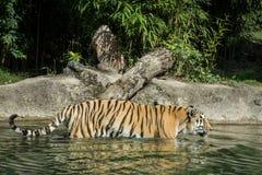 Tigre dans l'eau photo stock