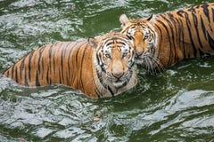 Tigre dans l'eau image libre de droits
