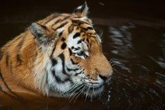 Tigre dans l'eau Photos libres de droits
